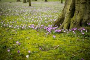 gras krokussen boom